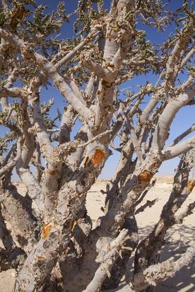 Drzewo Kadzidłowca - składnik preparatru