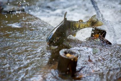 Dziki łosos - naturalne źródło kwasów Omega-3
